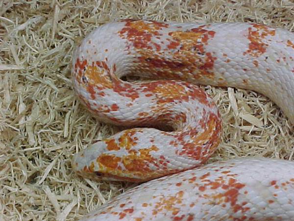 kingsnake com photo gallery > Snakes > paradox snow corn