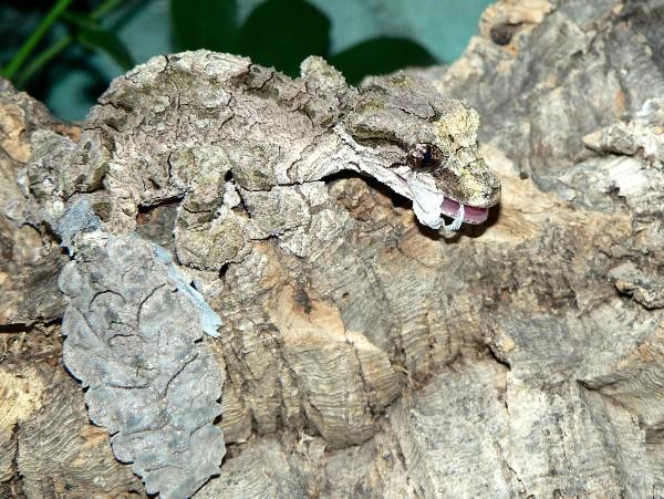 uroplatus pietchmanni