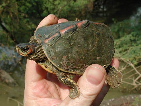 Kingsnake Com Reptile And Amphibian Classifieds