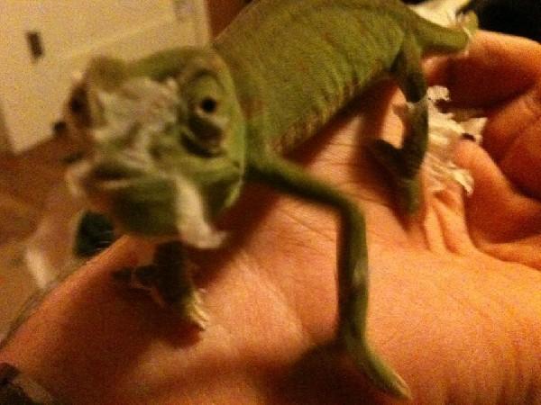 My Senegal Chameleon