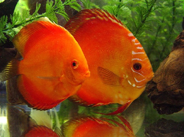 Our Discus Couple
