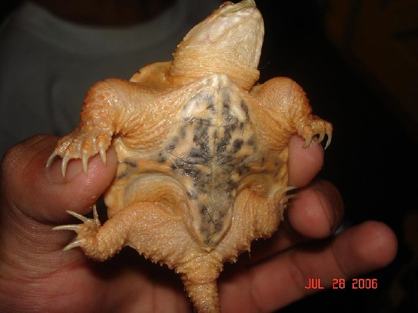 HYPOMELANISTIC SNAPPING TURTLE
