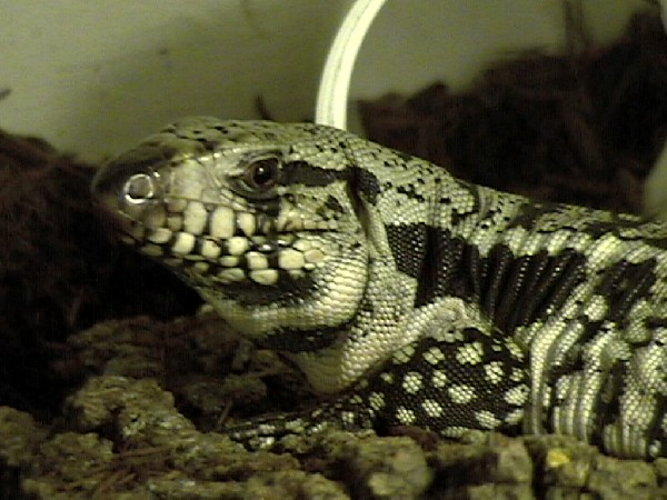 Photo: Tegu