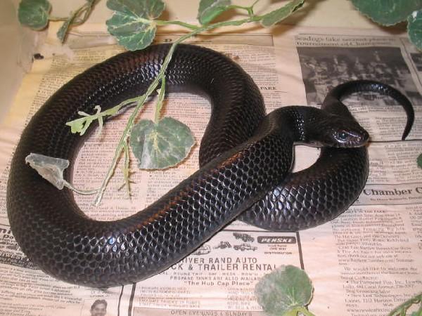 Photo:Indigo Snake