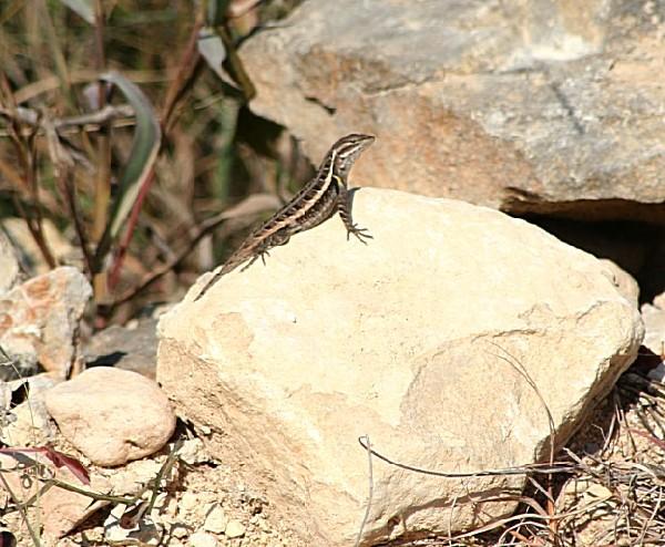 Swift lizard