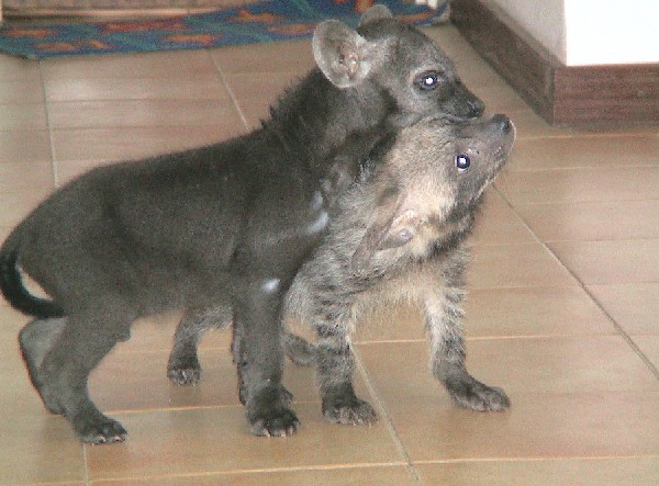Spotted & Striped hyena cub
