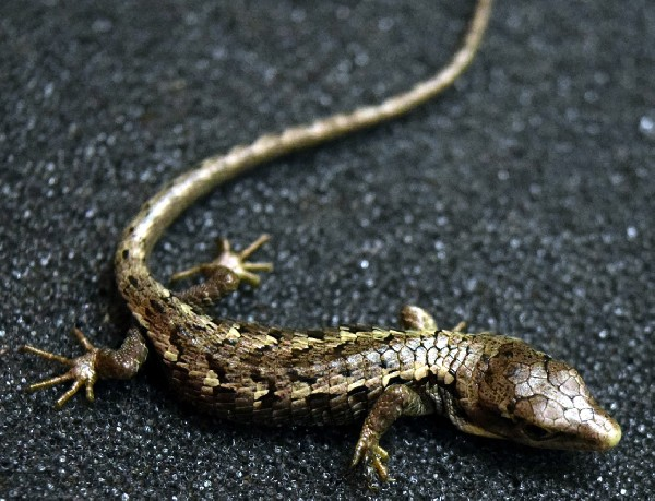 Baby Mexican Alligator Lizard