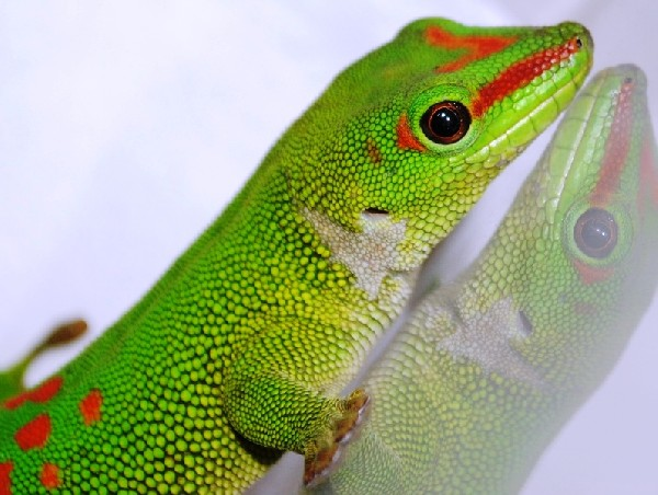 Grandis Day Gecko, uploaded by kingsnake.com user uggleedog