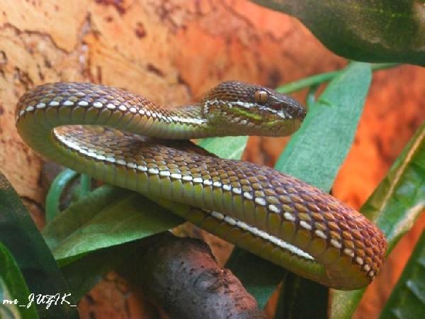 trimeresurus purpureomaculatus-stejnegeri