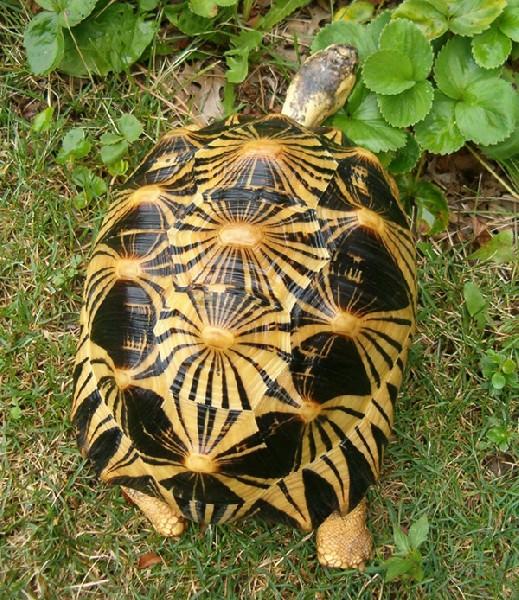 Radiated Tortoise, uploaded by kingsnake.com user zovick