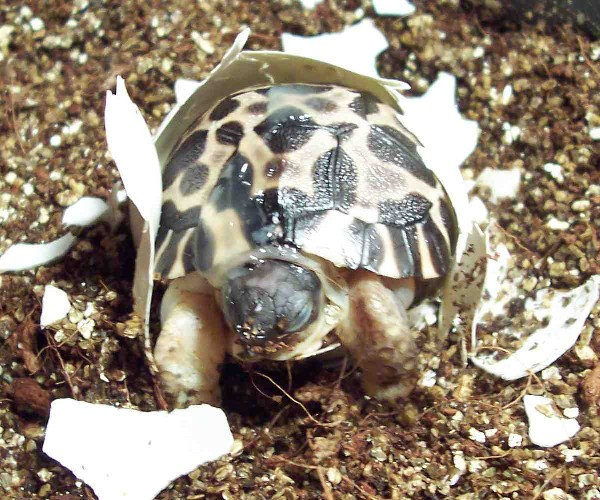 Radiated Tortoise Hatchling, uploaded by kingsnake.com user marcp