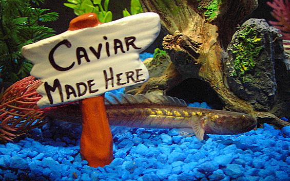 My Dragonfish/Violet Goby