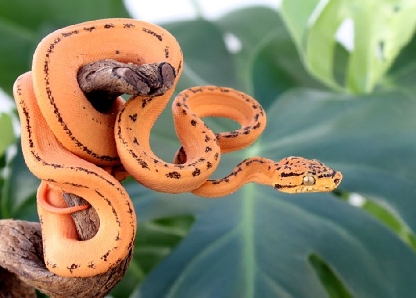 Amazon Tree Boa, uploaded by kingsnake.com user BPruett