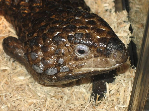 Photo: shingleback skink
