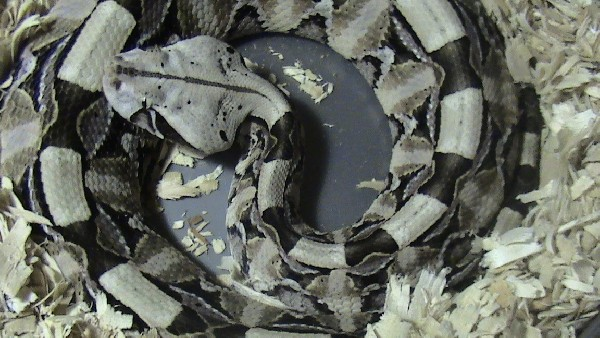 Bitis Gabonica Gabonica