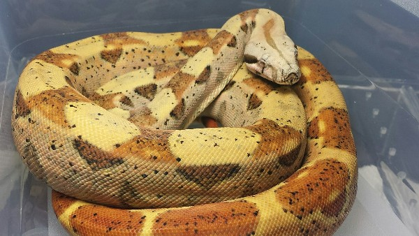 Boa Constrictor, uploaded by kingsnake.com user BoaZilla