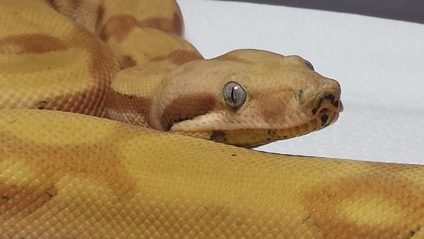 Boa Constrictor, uploaded by kingsnake.com user BoaZilla