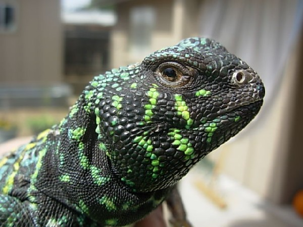 Photo: Uromastyx