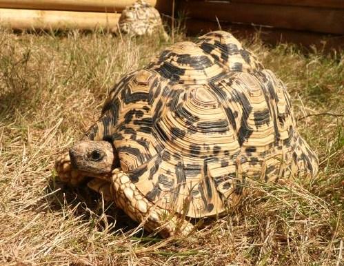 6c934f35aa6 Kingsnake.com Classifieds > Tortoise Classifieds