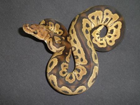 Ball Python, uploaded by kingsnake.com user cypresscreek