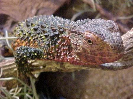 Chinese crocodile lizard, uploaded by kingsnake.com user lavadusch