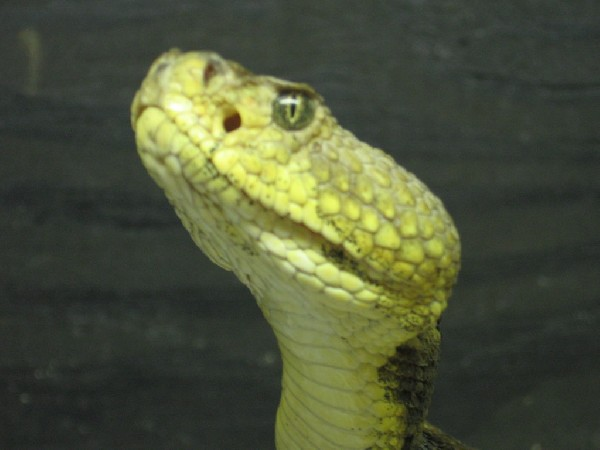 Timber Rattlesnake, uploaded by kingsnake.com user evil-elvis