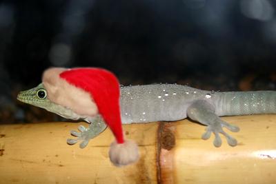 Christmas Phelsuma