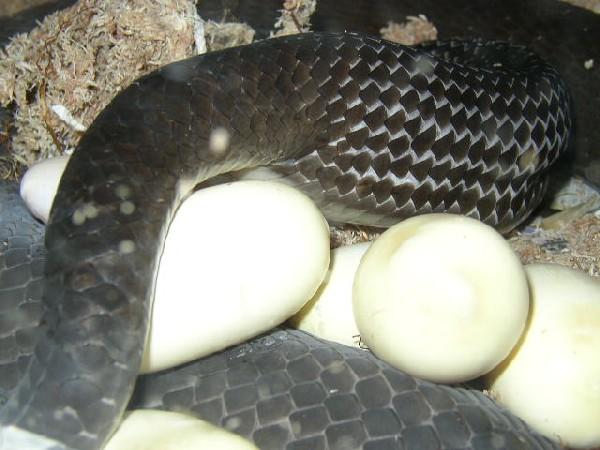 Black mamba laying eggs
