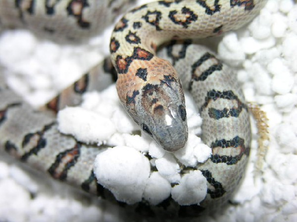 Thayeri kingsnake, uploaded by kingsnake.com user pikiemikie