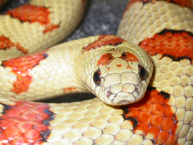 Photo: Thayeri kingsnake