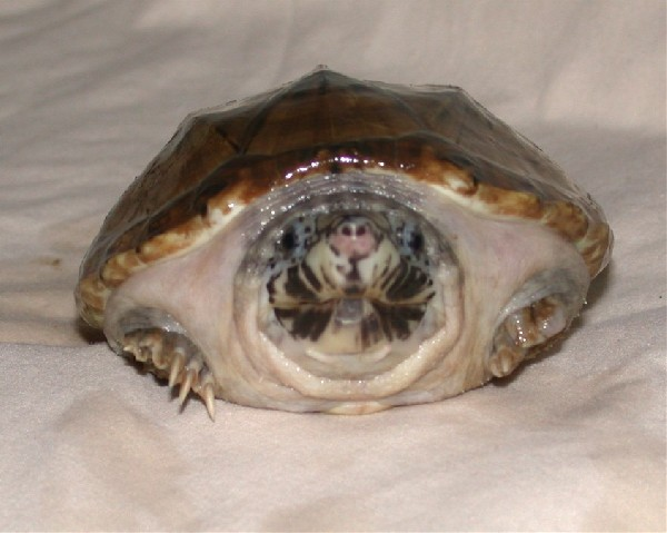 Giant Mexican Musk Turtle, uploaded by kingsnake.com user Katrina