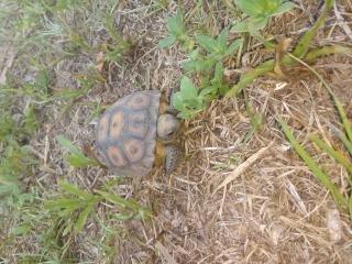 Baby Gopher. Williston, FL 06/30/19