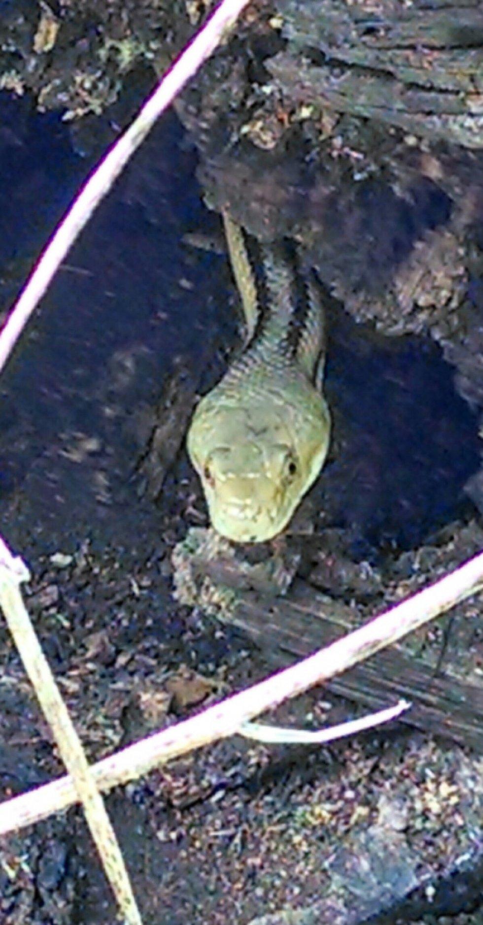 Yellow Rat, Williston FL