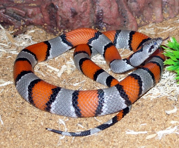 Image result for gray banded kingsnake