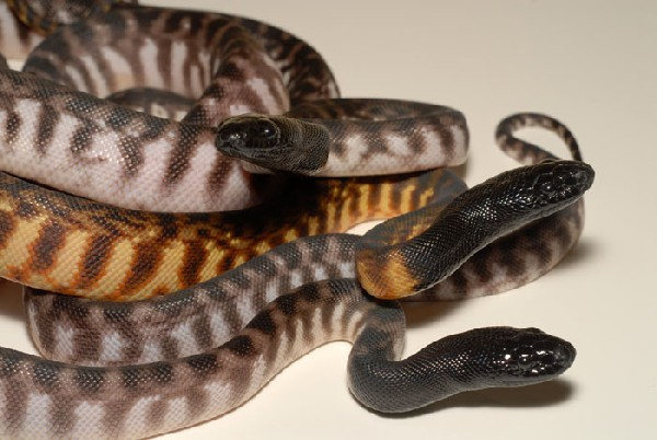 Axanthic BHP and sibling