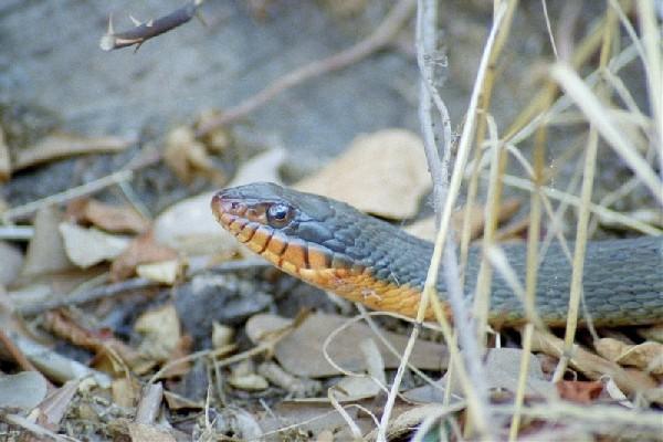 Water Snake, uploaded by kingsnake.com user dinahmoe