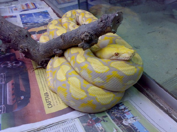my first passion  large snakes