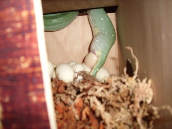 chondro eggs