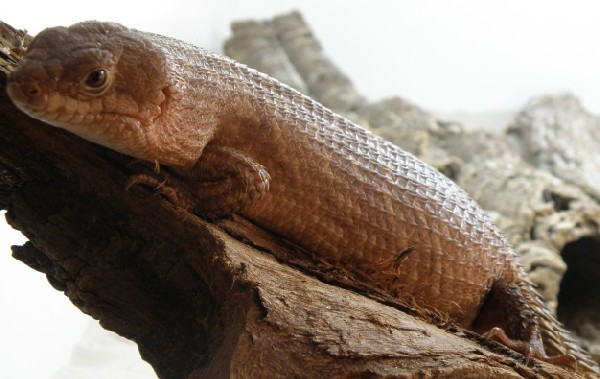 Skink, uploaded by kingsnake.com user ilovemonitorliza