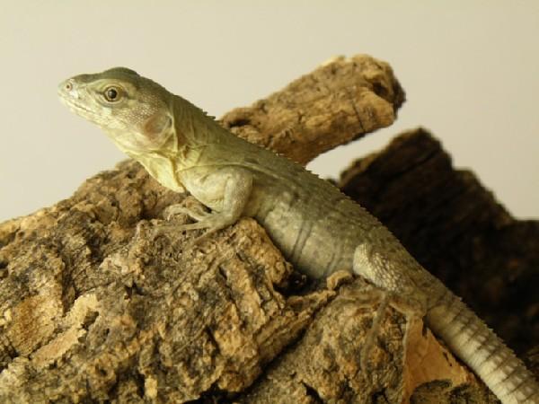 ctenosaura palearis 4