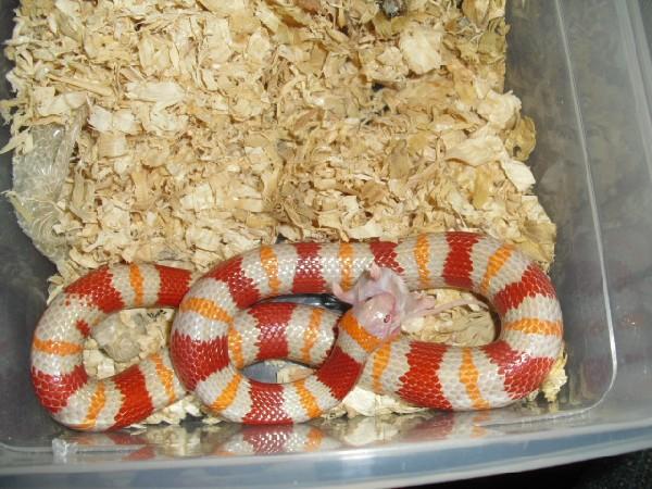 09 albino male annulata