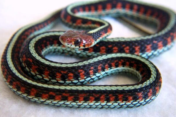 Photo:Red-Sided Gerter Snake