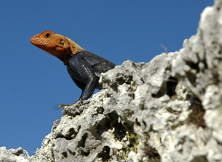 Wary agama