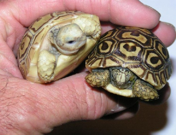 Hypo leopard tortoise with normal leopard