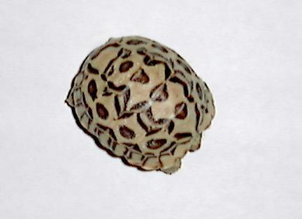 Strange leopard tortoise
