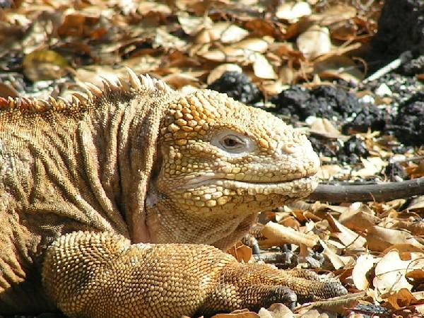 Galapagos Land Iguana Dec. 2007
