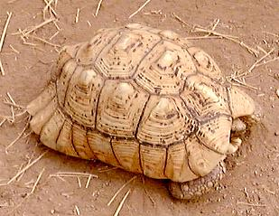 Large female leopard tortoise