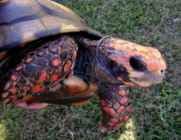 Bolivian Red-foot tortoise