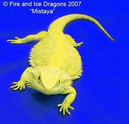 kingsnake.com photo gallery > Bearded Dragons > 100% ...