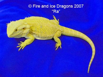 kingsnake.comphoto gallery > Bearded Dragons > 100% Citrus ...